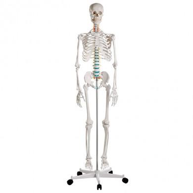 Squelette didactique Oscar