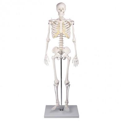 Squelette miniature Tom