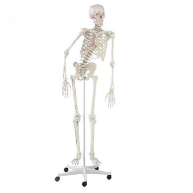 "Squelette ""Peter"""