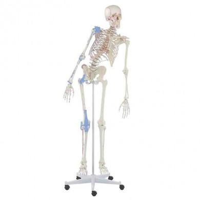 """Squelette """"Max"""""""