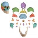 Gedesarticuleerde schedel