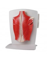 Modèle de musculature dorsale